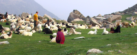 communing with goats